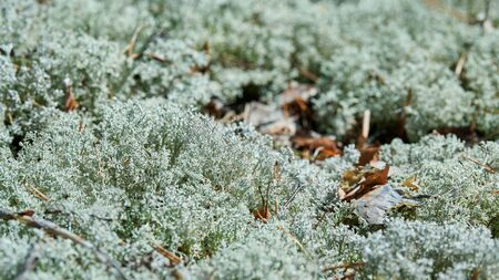 Lichen Cladonia rangiferina. Reindeer grey lichen. Beautiful light-colored forest moss growing in warm and cold climates. Deer, caribou moss.
