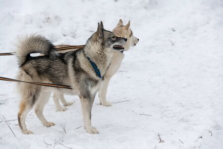 Husky dogs on tie out cable, waiting for sled dog race, winter background. Some adult pets before sport competition.