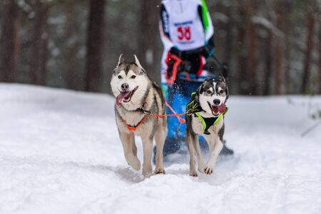 Sled dog racing. Husky sled dogs team in harness run and pull dog driver. Winter sport championship competition. Фото со стока