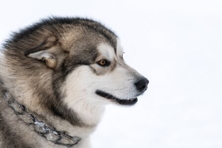 Retrato de perro husky, fondo de invierno cubierto de nieve. Mascota divertida en caminar antes del entrenamiento de perros de trineo.