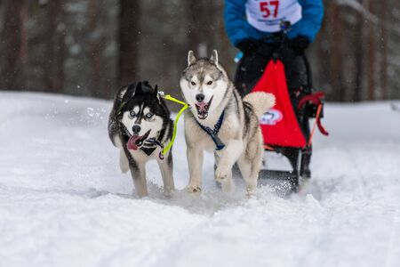 Husky sled dogs team in harness run and pull dog driver. Sled dog racing. Winter sport championship competition.