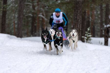 Sled dog racing. Husky and dobermans sled dogs team pull a sled with dog musher. Winter competition.