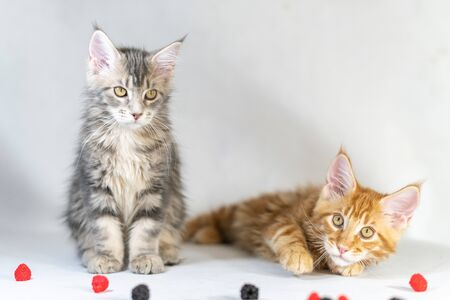 Maine Coon kittens, red and black cute cats. Largest and beautiful cat breed. White background