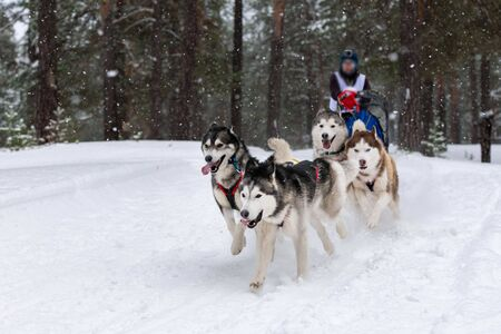 Sled dog racing. Husky sled dogs team pull a sled with dog driver. Winter competition. Stok Fotoğraf