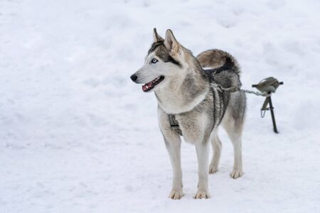 Siberian Husky dog on leash, waiting for sled dog race, winter background. Some adult pets before sport competition. Stok Fotoğraf