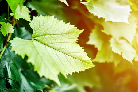 Grape leaves in vineyard. Green vine leaves at sunny september day. Soon autumn harvest of grapes for making wine, jam, juice, jelly, grape seed extract, vinegar, and grape seed oil.