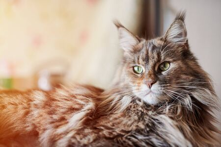 Maine coon cat, close up. Funny, cute cat with marble fur color. Largest domesticated breeds of felines. Soft focus. 版權商用圖片