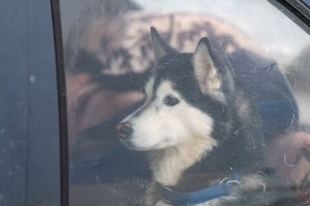 Husky dog in car, cute pet. Dog waiting for walking before sled dog training and race. Stok Fotoğraf