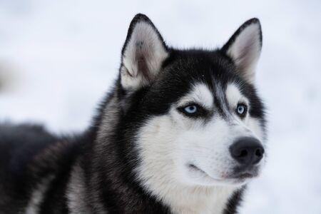 Husky dog portrait, winter snowy background. Funny pet on walking before sled dog training. Stok Fotoğraf