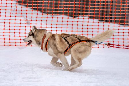 Sled dog racing. Husky sled dogs team in harness run and pull dog driver. Winter sport championship competition. Stok Fotoğraf