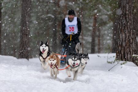 Sled dog racing. Husky sled dogs team pull a sled with dog musher. Winter competition.