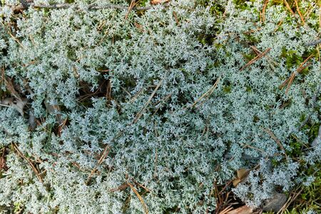Moss lichen Cladonia rangiferina. Grey reindeer lichen. Beautiful light-colored forest moss growing in warm and cold climates. Deer, caribou moss. 版權商用圖片