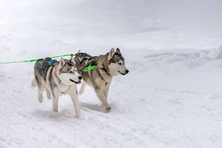 Sled dog racing. Husky sled dogs team in harness run and pull dog driver. Winter sport championship competition.