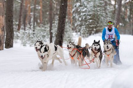 Reshetiha, Russia - 02.02.2019 - Sled dog racing. Husky sled dogs team pull a sled with dog driver. Championship competition.