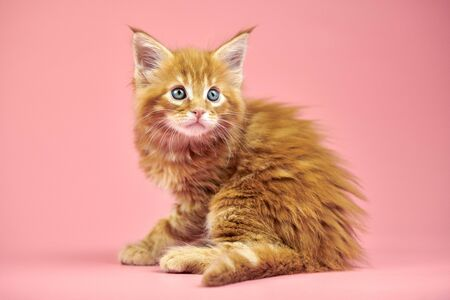Maine coon red kitten. Cute shorthair purebred cat on pink background. Ginger hair attractive kitty from new litter.