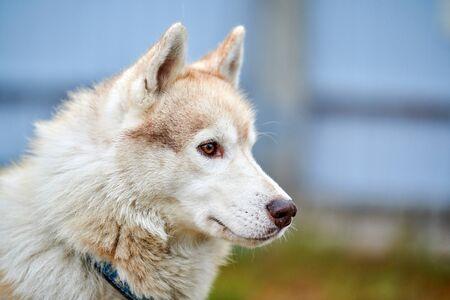 Husky dog outdoor portrait. Funny pet on walking before sled dog racing.