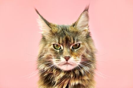 Maine Coon tortoiseshell cat, close up portrait. Adult female maine coon purebred cat on pink background. Tortie shorthair cat with funny look.
