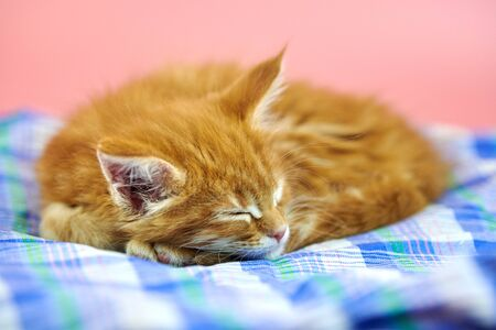 Sleeping Maine coon red kitten. Cute shorthair purebred cat on pink background. Ginger hair playfulness kitty from new litter.