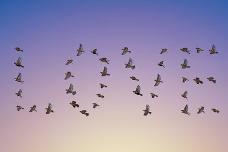 Sparrow flock flying in sky, love shape word concept. Group of small birds. 版權商用圖片