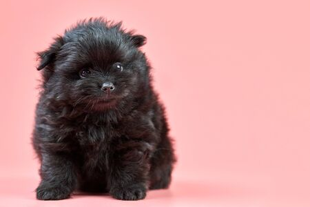 Pomeranian Spitz puppy, copy space. Cute fluffy black Spitz dog on pink background. Family-friendly tiny Dwarf-Spitz pom dog.