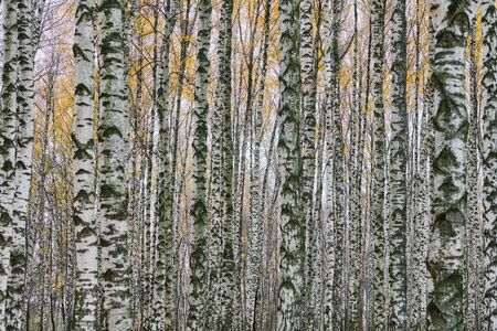 Dense birch forest. Birch tree trunks in city park. No people. Fresh healthy wet forest air.