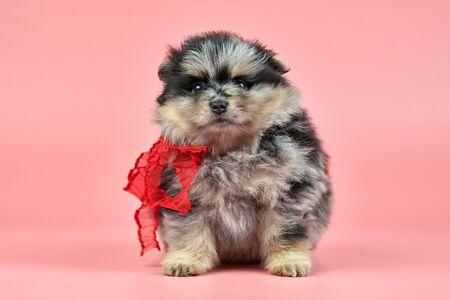 Pomeranian Spitz puppy. Cute fluffy tri-colored Spitz dog on pink background. Family-friendly tiny Dwarf-Spitz pom dog.