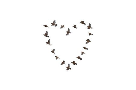 Sparrow flock flying in sky, isolated, heart shape, love concept. Group of small birds.
