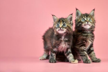 Maine coon tortoiseshell kittens. Cute shorthair purebred cat on pink background. Tortie coat color attractive kitties from new litter.