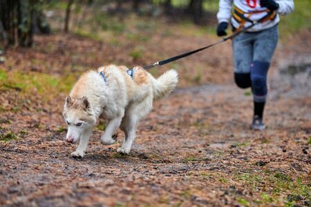 Canicross dog mushing race. Husky sled dog attached to runner. Autumn competition.