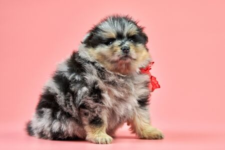 Pomeranian Spitz puppy. Cute fluffy tri-colored Spitz dog on pink background. Family-friendly tiny Dwarf-Spitz pom dog. 版權商用圖片