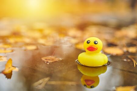 Autumn duck toy in puddle with leaves. Autumn symbol of change of seasons. Duck tales in city park. Fairweather concept