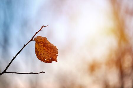 Autumn leaf on branch, copy space. Season change or sunny weather forecast symbol. Foliage in city park tree