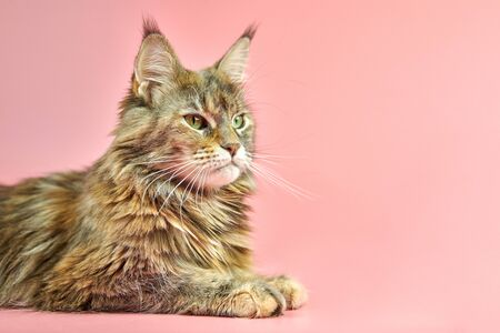 Maine Coon cat, tortoiseshell coat color, copy space. Adult female maine coon purebred cat on pink background. Tortie shorthair cat with funny look.