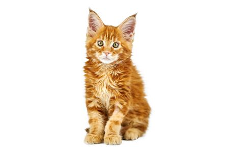 Red maine coon kitten, isolated. Cute maine-coon cat on white background. Little funny purebred cat with red color. Studio shoot, cut out for design or advertising. Stock Photo