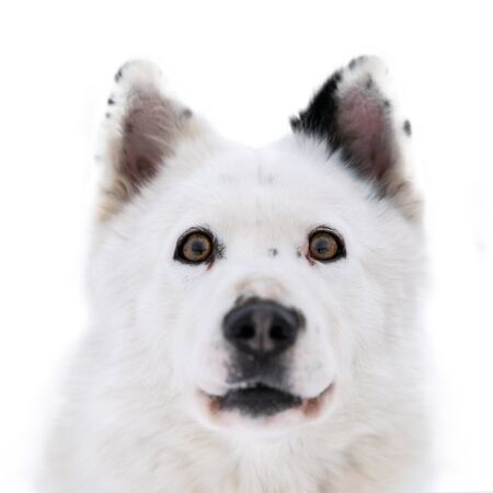 Funny husky face with big surprised eyes, isolated. Cute shocked look. Stunned mad Siberian Husky. Crazy design.