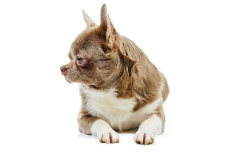 Adult Chihuahua dog, isolated. Little cute doggy on white background. Dog shelter puppy. Small short haired chihuahua dog breed, studio shoot.