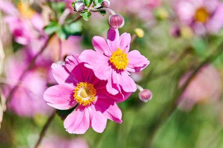Cosmos flower. Beautiful delicate pink flower. Blooming in city flowerbed. Cosmos bipinnatus. Green garden bokeh background.