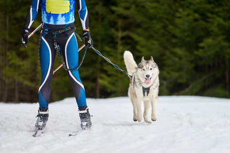Skijoring dog racing. Winter dog sport competition. Siberian husky dog pulls skier. Active skiing on snowy cross country track road Imagens