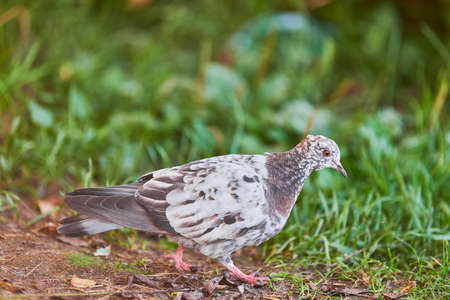 Dove on grass. Little pigeon looking for feeding. Multicolored feather color - white, black and brown