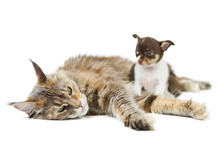 Maine coon cat and Chihuahua puppy, isolated. Little cute dog and cute adult tortoiseshell maine-coon cat on white background. Puppies and kittens shelter. Studio shoot for design or advertising.