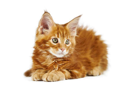 Red maine coon kitten, isolated. Cute maine-coon cat on white background. Little funny purebred cat with red color. Studio shoot, cut out for design or advertising. Imagens