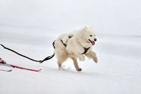 Skijoring dog racing. Winter dog sport competition. Samoyed dog pulls skier. Active skiing on snowy cross country track road Imagens