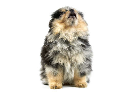 Pomeranian puppy Spitz, isolated. Cute pomeranian black and tan color, white background. Family friendly tiny Spitz pom dog.