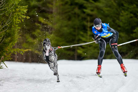 Skijoring dog racing. Winter dog sport competition. Pointer dog pulls skier. Active skiing on snowy cross country track road