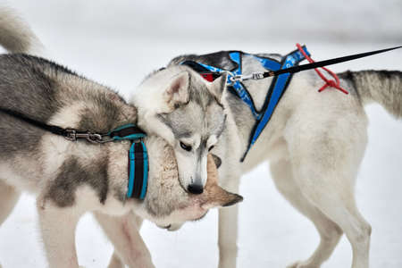 Husky dogs playing in snow. Funny siberian husky sled dogs winter games with bark and bites. Aggressive pet behavior