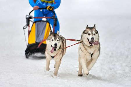 Husky sled dog racing. Winter dog sport sled team competition. Siberian husky dogs pull sled with musher. Active running on snowy cross country track road Imagens
