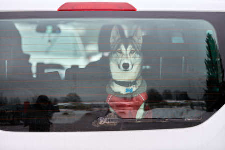 Husky sled dog in car, travel pet. Dog locked inside car, looking out car window and waiting for walking. Funny husky dog travel trip concept. Pet transportation. Imagens