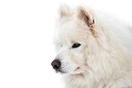 Husky sled dog face, isolated. Siberian husky dog breed white background, muzzle portrait. Isolated funny pet for design or advertisement