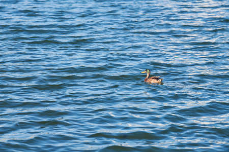 Duck swimming in city lake, copy space. Mallard duck on water. Birdwatching and ornithology Imagens