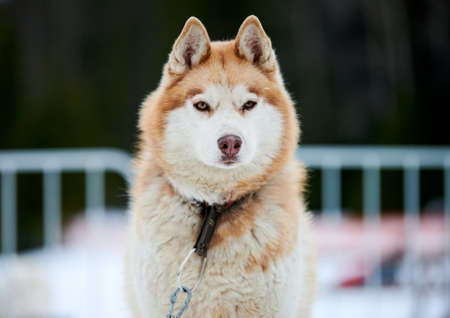 Husky sled dog face, winter background. Siberian husky dog breed outdoor muzzle portrait. Beautiful funny pet on walk before race competition.